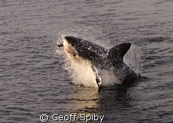 I took the morning off work to see the white sharks at Se... by Geoff Spiby 
